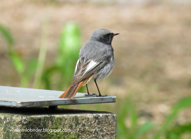 Breeding Black Redstarts