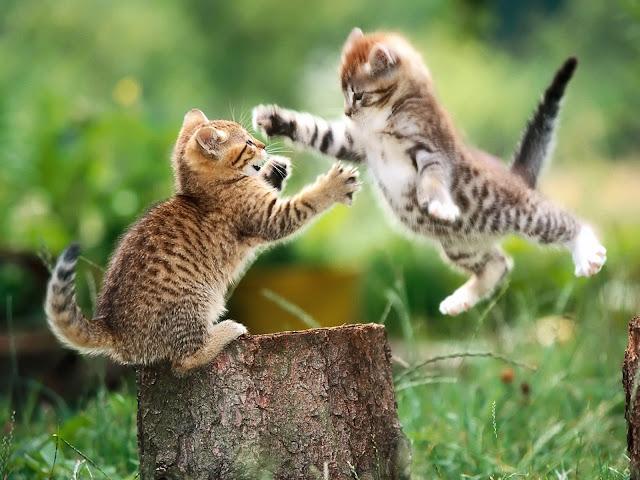 Wallpaper Dua Anak Kucing Lucu sedang Bertengkar