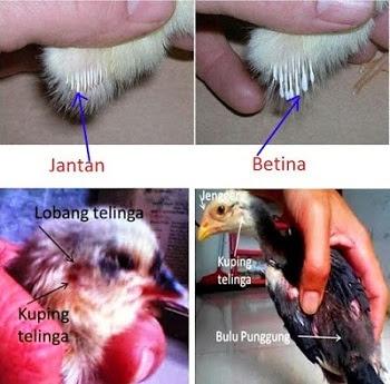 Cara Mudah Mengetahui Perbedaan Anak Ayam Bangkok Jantan Dan Betina Nusantara Birdfarm