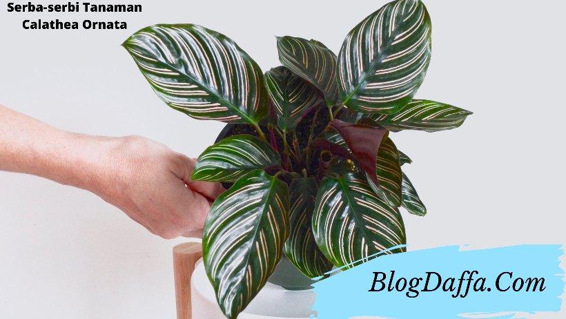 Serba-serbi tanaman calathea ornata