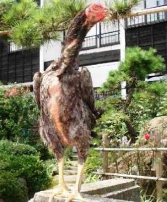 Gambar Ayam Betina Siam Shamo Jepang