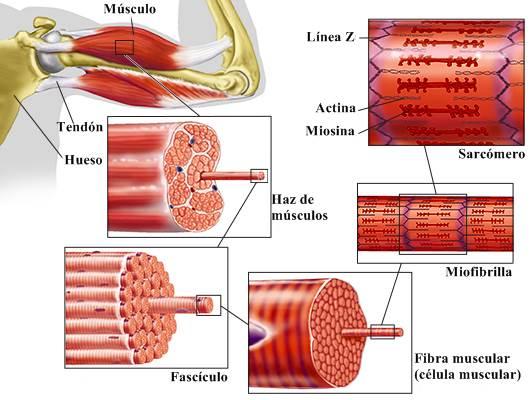 Músculo esquelético: estructura La estructura del músculo estriado.
