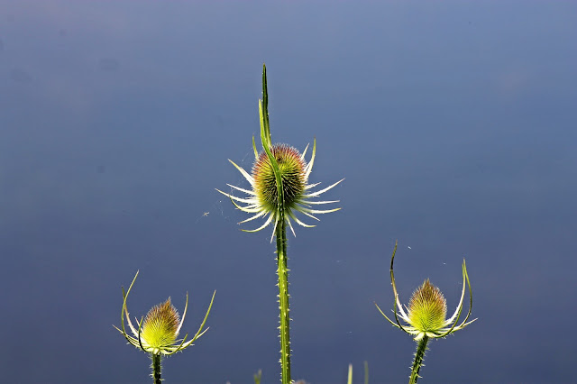 Buy beautiful greeting cards of 3 teasels