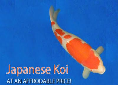 Matsuda Koi Farm Situs Import Koi Jepang, bagi Pecinta Koi wajib baca!