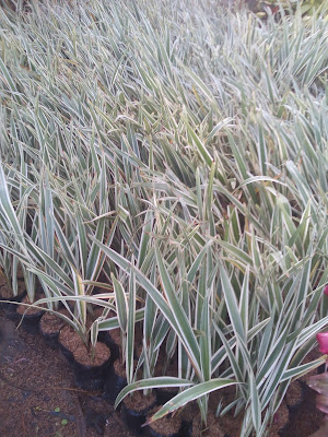 http://www.irzi-taman.com/search?q=pohon+sutra+bombai