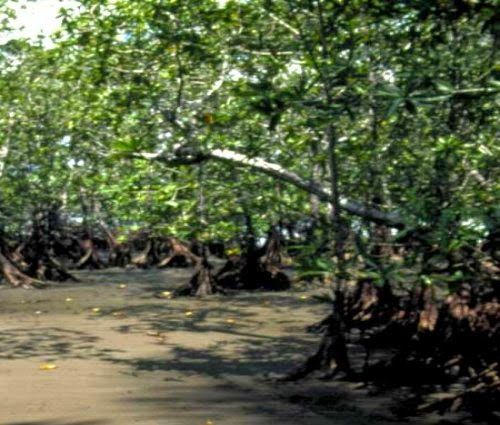 Mangrove Swamp Tree picture 4