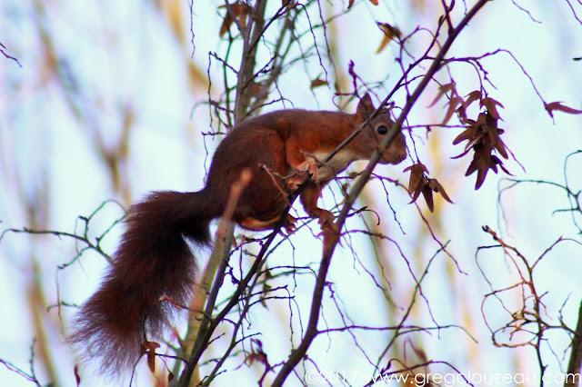 Écureuil roux, ou écureuil d'Eurasie (Sciurus vulgaris)