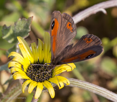 Tiny Butterfly with a Zoom Lens - Woodbridge Island 02