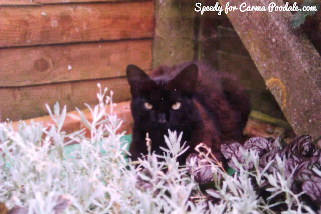 Black cat named Smokey looking at the camera behind a bush-Speedy the house bunny