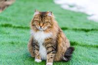 Tout savoir sur la gestation de la chatte