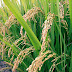 In Benue, IFAD Predicts Bumper Rice Harvest