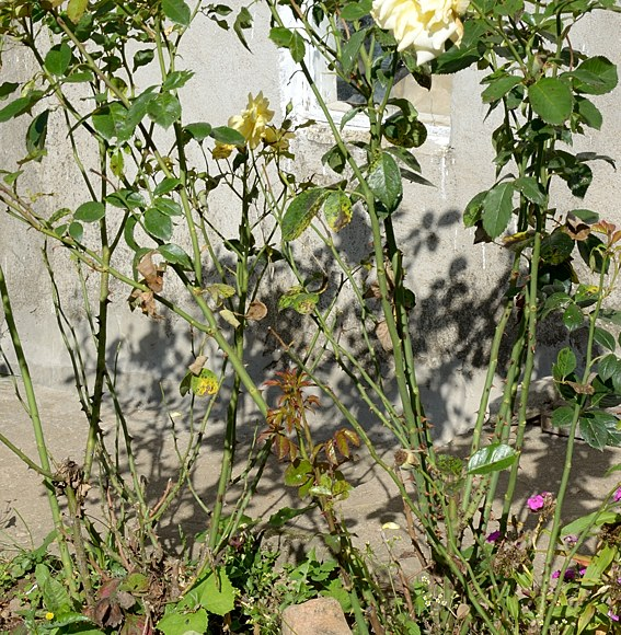 Чёрная пятнистость роз защита препараты химикаты обработки борьба