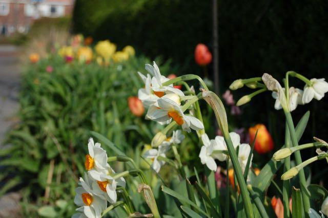 voorjaarstuin narcissen en tulpen