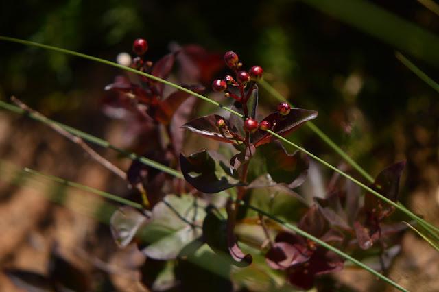 Lagerstroemia indica, small sunny garden, desert garden, crape myrtle, garden bloggers foliage day, foliage, rhapsody in pink