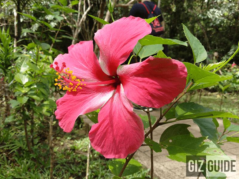 Giant gumamela flower