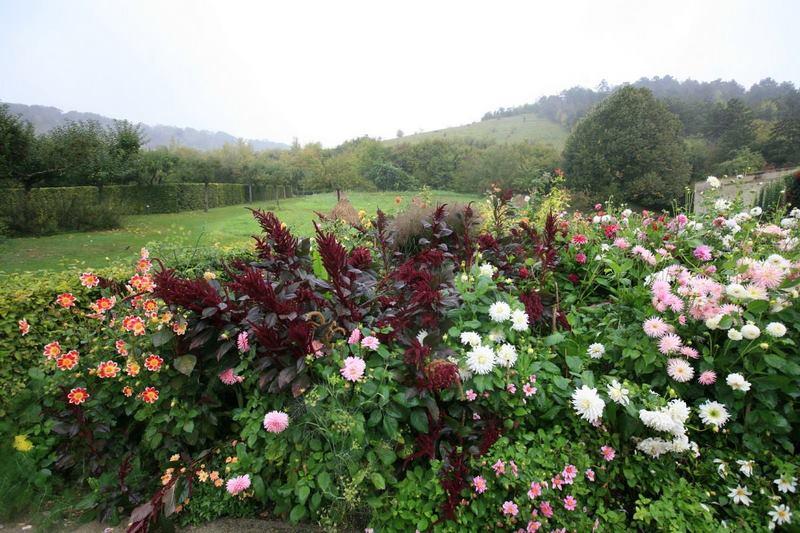 Flores de dalias de flor sencilla y cactus con zumaque (Rhus spp) en Jardin Claude Monet en Giverny en otoño