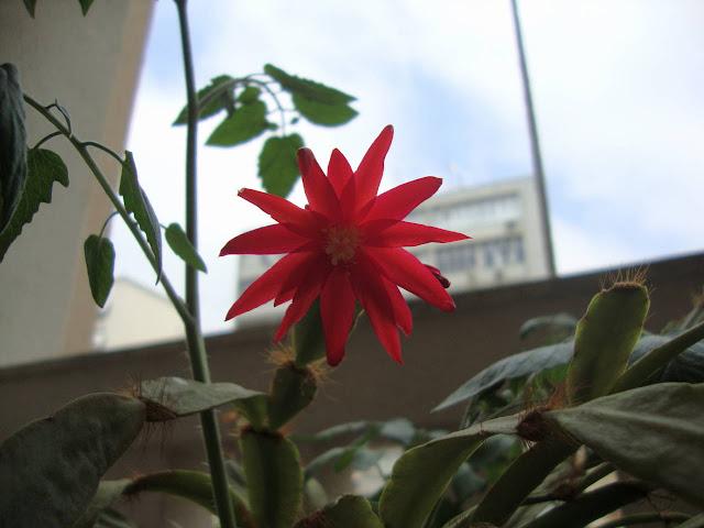 flor vermelha de cactus