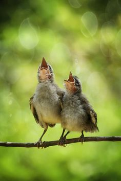 Gorgeous adorable baby birds with mouths open