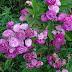 Cây hoa hồng bụi Vineyard Song