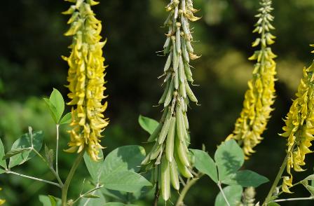 Lục lạc ba lá tròn - Crotalaria mucronata - THÔNG TIỂU TIỆN VÀ THÔNG MẬT