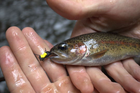 Rainbow trout like beetles also