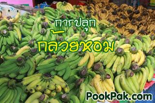การปลูกกล้วยหอมทอง
