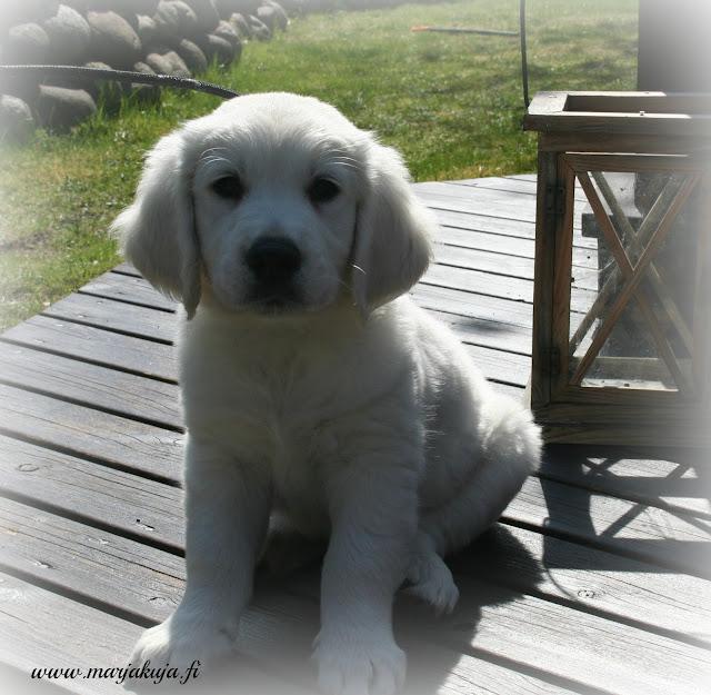 koiranpentu kultainnoutaja