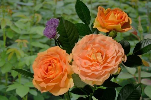 купить розы в арамиле в теплице