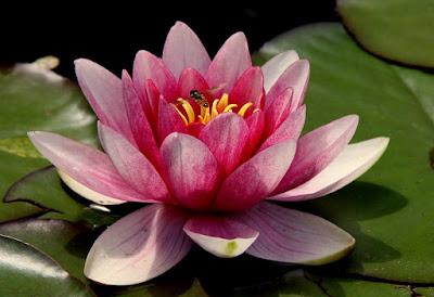 tukang taman surabaya jenis tanaman bunga lotus
