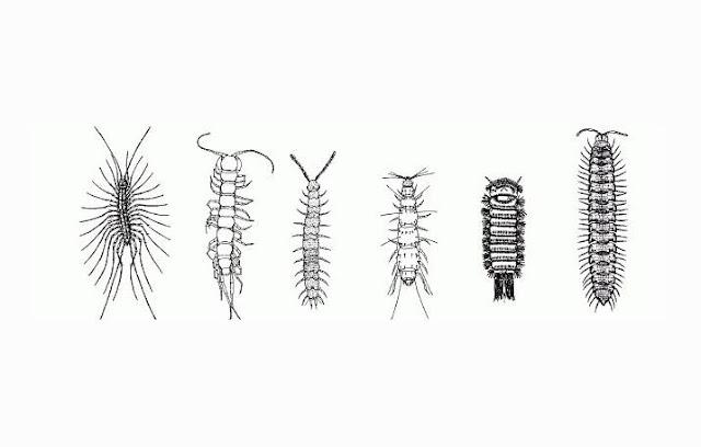 Pengertian dan Ciri Myriapoda