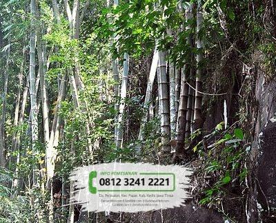 Jual Bibit Pohon Bambu Petung / Betung