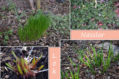 Allium och Urtica dioica