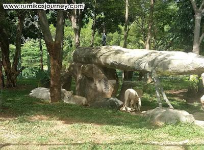 Singa-singa di faunaland ancol jakarta