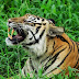 Ibu Berduel dengan Harimau Demi Selamatkan Anaknya, Ini yang Terjadi!