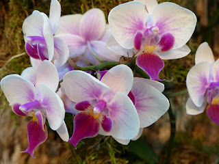 Phalaenopsis Sogo Jessica - Phalaenopsis Liu's Twilight Rainbow x Phalaenopsis Sogo Rostris