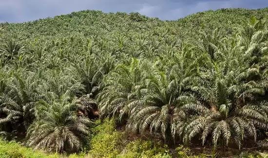 CPOPC Perkebunan Kelapa Sawit