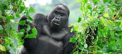 gorilla safari, price of gorilla rwanda, gorillas golden monky tracking, 4 days rwanda gorilla trek, gorilla permits rwanda, gorilla tracking rwanda, rwanda tours, rwanda safaris, rwanda tour guides, rwanda tour agent, lake Kivu tours, volcanoes national park, rwanda gorillas, primates rwanda, cultural safari rwanda, tour rates rwanda, car hire price rwanda, group tour rwanda, private tour rwanda, luxury accommodation rwanda