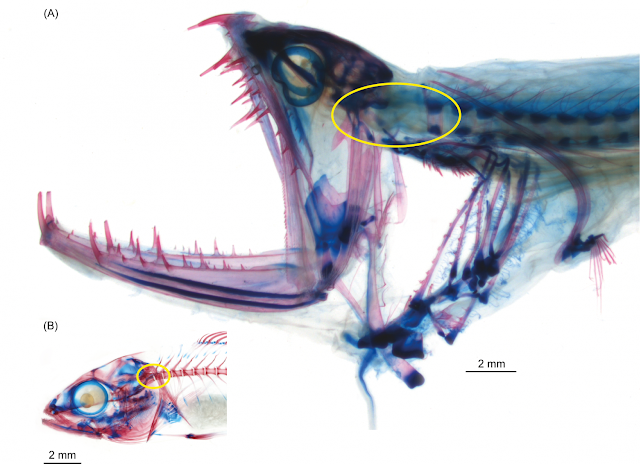 First functional fish head joint discovered in deep-sea dragonfishes in museum collections