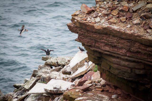 Duncansbay head-Pulcinella di mare