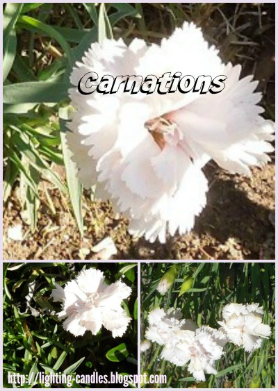 C is for Carnations