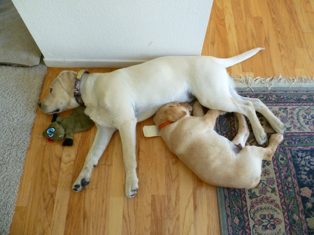 Two Yellow Labrador Puppies Sleeping Dogs