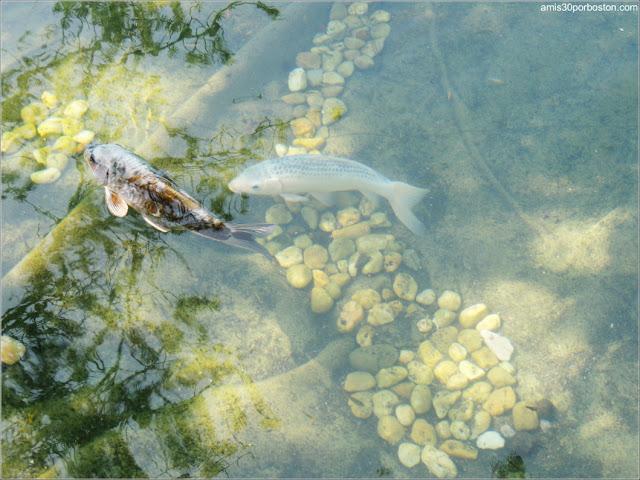 Jardín Japonés del Jardín Botánico de Montreal: Carpas Koi en el Lago