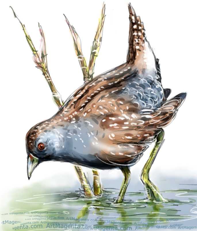 Spotted Crake sketch painting. Bird art drawing by illustrator Artmagenta