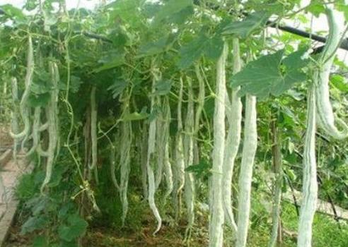 चीचिंडा की आधुनिक खेती करने का तरीका