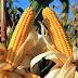 """La FAO pronostica una """"cosecha favorable"""" de maíz para América Latina en 2017"""