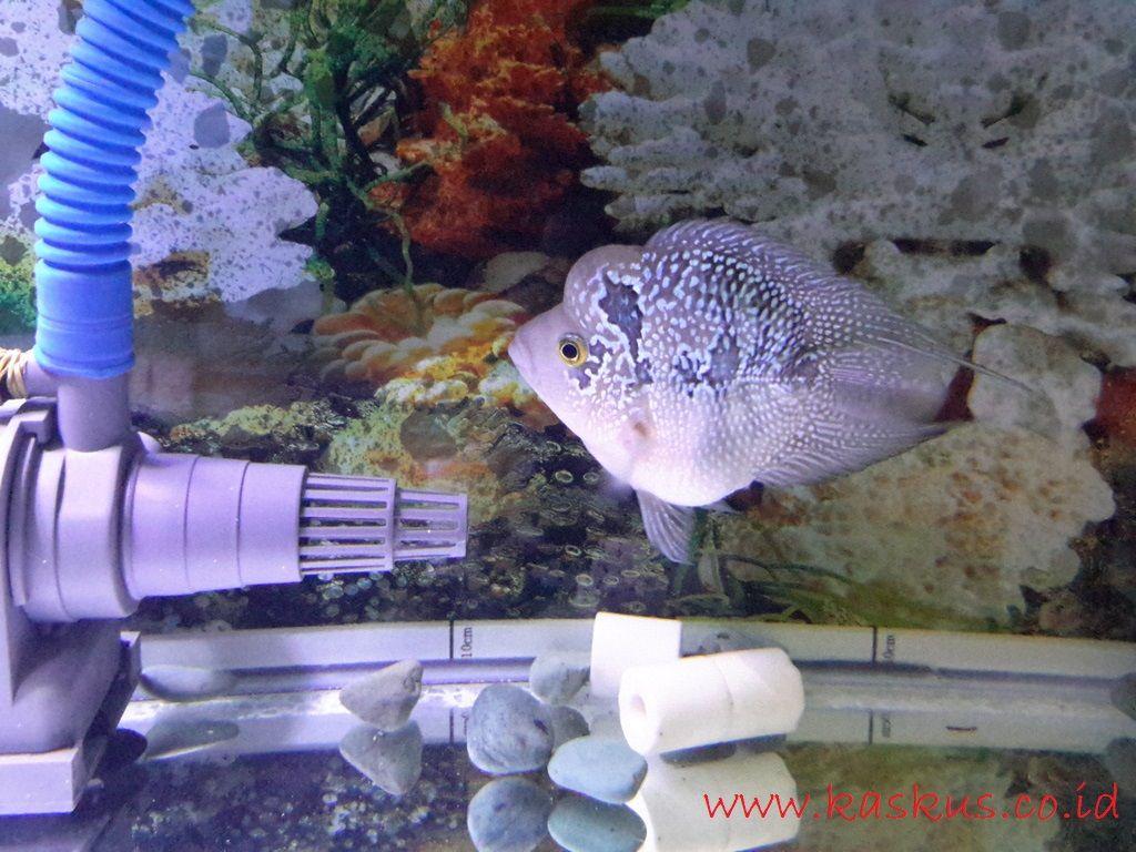 Gambar Ciri Ciri Ikan Louhan Stres Dan Ini Cara Merawatnya Agar Kembali Sehat