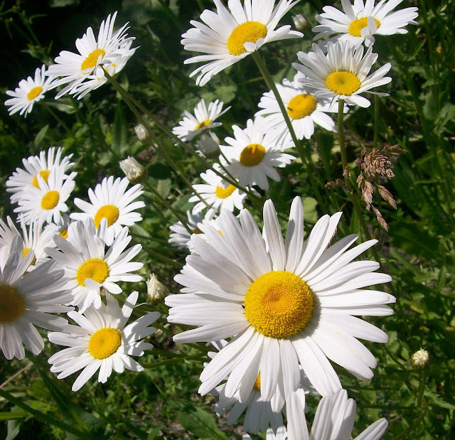 на даче ромашки цветут, очень их много