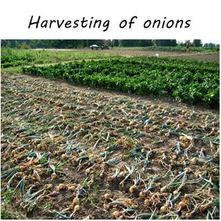 harvesting and curing of onions