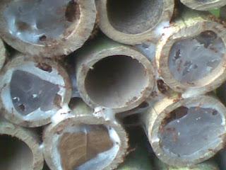 Cara Budidaya Kroto dengan Media Bambu