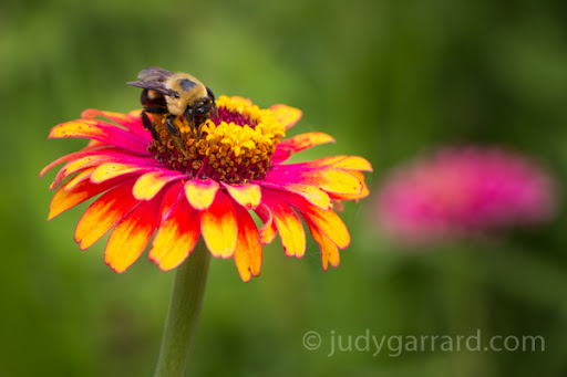 Yellow & pink zinnia with bee
